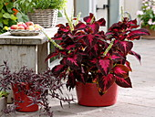 Coleus 'Kingwood Torch' (Buntnessel), Mukunu - Wenna (Alternanthera