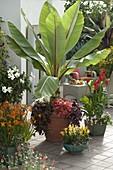 Tropische Terrasse : Musa acuminata (Banane) mit Petunia Bingo 'Coral'