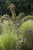 Malus 'Adirondack' (Zierapfel) zwischen Miscanthus sinensis 'Gracillimus'