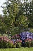 Sedum telephium 'Herbstfreude' (Fetthenne) mit Aster dumosus