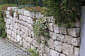 Kalksteintrockenmauer, bepflanzt mit Sedum (Fetthenne) und Hedera (Efeu)
