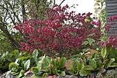 Euonymus alatus (Korkleisten - Spindelstrauch) in Herbstfarbe