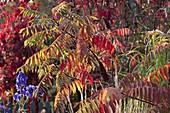 Rhus typhina (Essigbaum) in Herbstfärbung