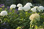 Hydrangea arborescens 'Grandiflora' (Strauchhortensie)