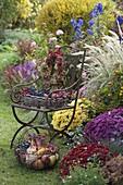 Herbstbeet mit Chrysanthemum v.r. : 'Zelos' 'Kilo' 'Lara'