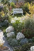 Herbstlicher Garten mit Aster dumosus 'Perla' (Kissenastern), Chrysanthemum