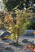 Acer palmatum 'Sangokaku' (Japanischer Fächerahorn) im Kiesbeet