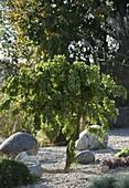 Robinia pseudoacacia 'Tortuosa' (Korkenzieher - Robinie) im Kiesbeet