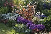 Herbstbeet : Aster dumosus 'Perla', 'Rose Crystal' (Kissenastern) , Hamamelis