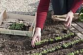Feldsalat - Jungpflanzen in Reihen ins Beet setzen 2/4