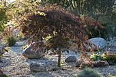 Acer palmatum 'Dissectum Garnet' (Rotblättriger Schlitzahorn)