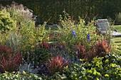 Beet mit Imperata imperata 'Red Baron' (Japanisches Rotgras), Salvia rutilans