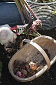 Gladiolus (Gladiolen) vor dem ersten Frost aus der Erde nehmen