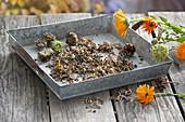 Samen von Ringelblumen ernten und aufheben