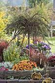 Cotoneaster horizontalis (Fächer- Zwergmispel) auf Stamm, Chrysanthemum