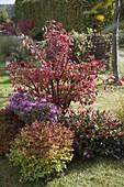 Euonymus alatus (Korkleisten - Spindelstrauch), Chrysanthemum
