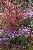 Euonymus alatus (Korkleisten - Spindelstrauch) mit Chrysanthemum