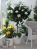 Hibiscus rosa sinensis 'Hula Girl' gelb, 'Alabaster' weiß (Hibiskus)