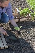 Frau pflanzt Salat (Lactuca) ins Beet, Korb mit Sellerie