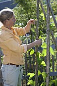 Frau legt Ranken von Stangenbohnen (Phaseolus) um Bohnenstange