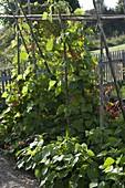 Blühende Feuerbohnen (Phaseolus) an Bohnenstangen