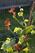 Blühende Feuerbohnen (Phaseolus)
