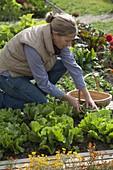 Frau erntet Endiviensalat (Chicorium endivia), Tagetes (Studentenblumen)