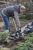 Frau gräbt die letzten Gemüse nach dem Frost aus
