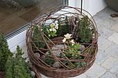 Weiden - Ring bepflanzt mit Christrosen und Koniferen