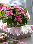 Euphorbia pulcherrima 'Princettia Pink' (Weihnachtssterne) mit Kugeln