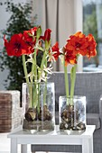 Hippeastrum Hybride 'Royal Red' , Cybister 'Emerald' (Amaryllis)