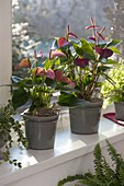 Anthurium andreanum 'Topmix' (Flamingoblumen) am Fenster
