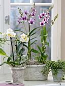 Dendrobium 'Polar Fire', Phalaenopsis (Orchideen), Ficus pumila 'Sunny'