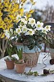 Helleborus niger (Christrose), Hyacinthus (Hyazinthen)