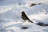 Buchfink (Fringilla coelebs) im Schnee