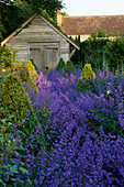 WOLLERTON Old HALL, SHROPSHIRE. Nepeta Six HILLS GIANT AND SHED IN THE ROSE Garden