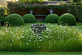 WOLLERTON Old HALL, SHROPSHIRE: FONT Garden with MEADOW PLANTING of DAISIES (LEUCANTHEMUM VULGARE) AND CLIPPED TOPIARY DOMES with Loggia IN BACKGROUND