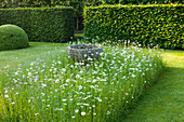 WOLLERTON Old HALL, SHROPSHIRE: THE FONT Garden with MEADOW PLANTING of DAISIES (LEUCANTHEMUM VULGARE) with HEDGE LEADING TO Lime Allee