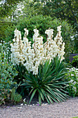 MEADOW Farm, WORCESTERSHIRE: White FLOWERS of YUCCA Gloriosa