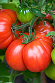 CLOSE UP of LARGE Beefsteak TOMATO at THE River Cafe Garden, London