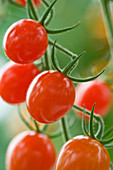CLOSE UP of Red TOMATO 'Jelly BEAN Hybrid'. EDIBLE