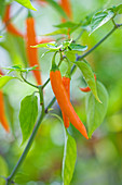 CLOSE UP of CHILLI 'Topaz Hot f1'. EDIBLE, VEGETABLE