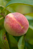 Clare MATTHEWS FRUIT Garden PROJECT: CLOSE UP of Peach 'Garden Lady'. EDIBLE
