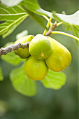 Clare MATTHEWS FRUIT Garden PROJECT: Yellow FRUIT of FIG - FICUS carica - FIG 'Saint JOHNS'
