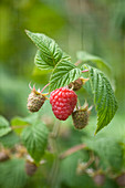 Clare MATTHEWS FRUIT Garden PROJECT: Red BERRY of RASPBERRY 'GLEN AMPLE' - BERRIES, FRUIT, EDIBLE