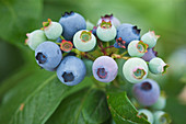 Clare MATTHEWS FRUIT Garden PROJECT: Blue FRUIT of Blueberry 'IVANHOE' - BERRY, BERRIES, EDIBLE, VACCINIUM CORYMBOSUM