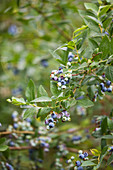 Clare MATTHEWS FRUIT Garden PROJECT: Blue FRUIT of Blueberry 'Sunrise' . EDIBLE, BERRY, BERRIES