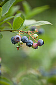 Clare MATTHEWS FRUIT Garden PROJECT: CLOSE UP of Blue FRUIT of Blueberry 'Spartan' . EDIBLE, BERRY, BERRIES