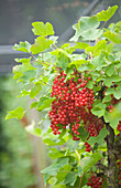 Clare MATTHEWS FRUIT Garden PROJECT: Red BERRIES of Red CURRANT 'ROVADA'. EDIBLE, BERRY