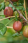 Clare MATTHEWS FRUIT Garden PROJECT: THE FRUITS of GOOSEBERRY 'ACHILLES'. EDIBLE, BERRY, BERRIES